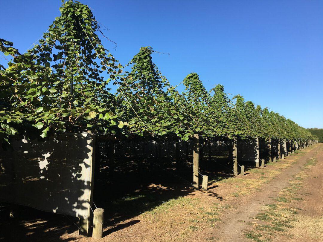How I became a kiwi berry grower